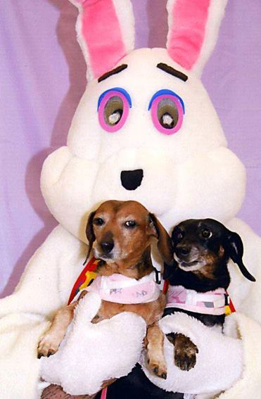 Doxies & Easter Bunny